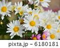 きくの花 キクの花 菊の花の写真 6180181