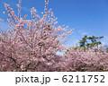 河津桜 6211752