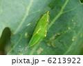 モンシロチョウの蛹 6213922
