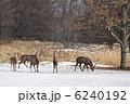 蝦夷鹿 エゾシカ シカの写真 6240192