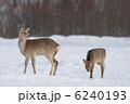 エゾシカ 蝦夷鹿 シカの写真 6240193