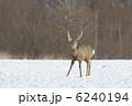 蝦夷鹿 エゾシカ シカの写真 6240194