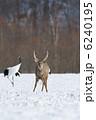 エゾシカ 蝦夷鹿 シカの写真 6240195