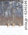 エゾシカ 蝦夷鹿 シカの写真 6240196