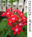 ペンタスの花 6243162