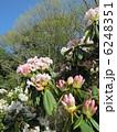 シャクナゲ 石楠花 花の写真 6248351