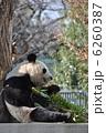 旦旦 タンタン ジャイアントパンダの写真 6260387