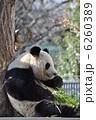 旦旦 タンタン ジャイアントパンダの写真 6260389