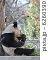 旦旦 タンタン ジャイアントパンダの写真 6260390