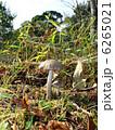 ヘビキノコモドキ 6265021
