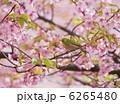河津桜とメジロ 6265480