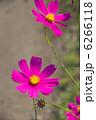 秋桜のコスモス 6266118