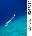 泳ぐウミヘビ 6267967