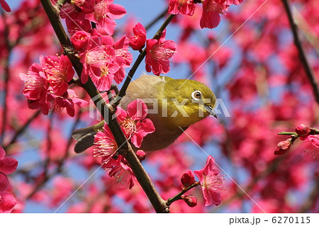 梅とめじろ 6270115