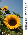 ひまわり(向日葵)【大阪万博記念公園の自然文化園で撮影しました。】品種は「サンリッチオレンジ」です 6273460