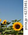 ひまわり(向日葵)【大阪万博記念公園の自然文化園で撮影しました。】品種は「サンリッチオレンジ」です 6273461
