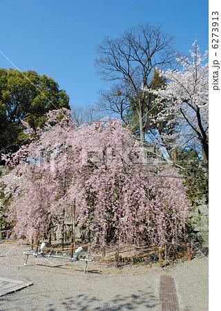 和歌山城の「紅しだれ桜」 6273913