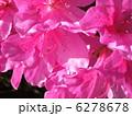 ピンク ツツジ 花の写真 6278678