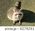 タヌキ 陸上動物 たぬきの写真 6279291