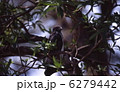 猛禽類 タカ ノスリの写真 6279442