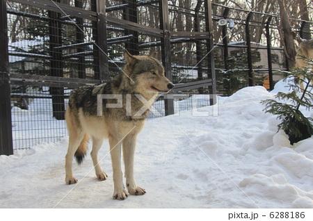 シンリンオオカミ 6288186