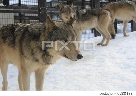 シンリンオオカミ 6288188