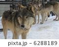 オオカミ ほ乳類 シンリンオオカミの写真 6288189