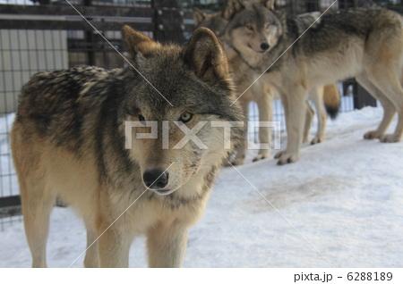 シンリンオオカミ 6288189
