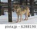 オオカミ ほ乳類 シンリンオオカミの写真 6288190