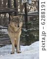 オオカミ ほ乳類 シンリンオオカミの写真 6288191