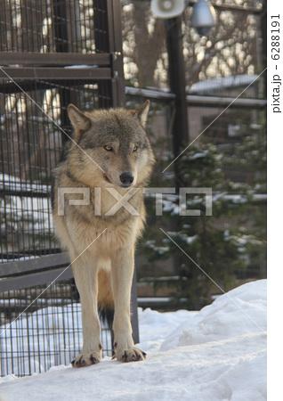 シンリンオオカミ 6288191