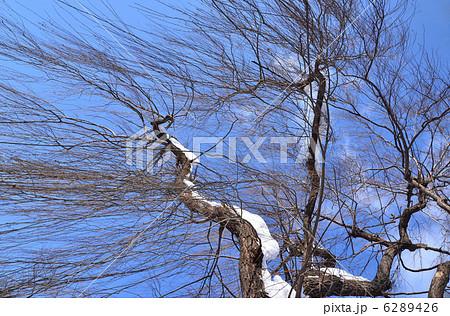 冬の柳の木 6289426