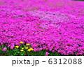 シバザクラ 芝桜 満開の写真 6312088