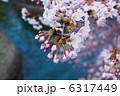 つぼみ はる さくらの写真 6317449