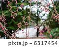 つぼみ さくら サクラの写真 6317454