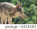 シンリンオオカミ オオカミ 狼の写真 6319163