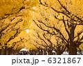 イチョウ 銀杏並木 イチョウ並木の写真 6321867