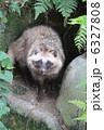 ホンドタヌキ タヌキ 動物の写真 6327808