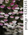 小菊 コギク 花の写真 6329145