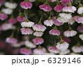 小菊 コギク 花の写真 6329146