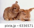 ロップイヤーラビット 卯 ウサギの写真 6336571
