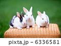 ウサギ 卯 ミニウサギの写真 6336581