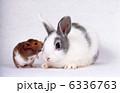 ウサギ 卯 ミニウサギの写真 6336763