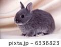 ミニウサギ 卯 ウサギの写真 6336823