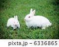 ウサギ 白兎 卯の写真 6336865