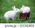 ウサギ 白兎 卯の写真 6336866