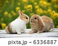 小動物 ウサギ 卯の写真 6336887