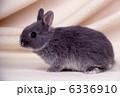 ミニウサギ 卯 ウサギの写真 6336910