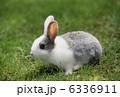 小動物 ウサギ 卯の写真 6336911