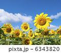 ヒマワリ畑 ひまわり ヒマワリの写真 6343820